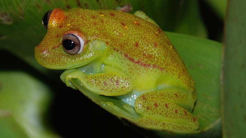 Com nome científico Hypsiboas punctatus, sob a luz do dia, a perereca mostra uma coloração que mistura tons verdes, amarelos e vermelhos. Mas ao cair a noite, este anfíbio apresenta o seu brilho, esverdeado e azulado sob a luz do luar.