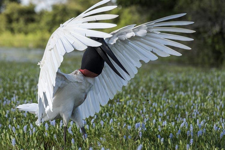 Tuiuiú: ave símbolo do Pantanal reina sobre os alagados