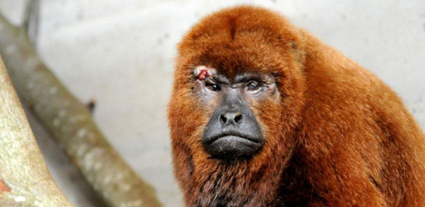 Macacos não são reservatórios de febre amarela