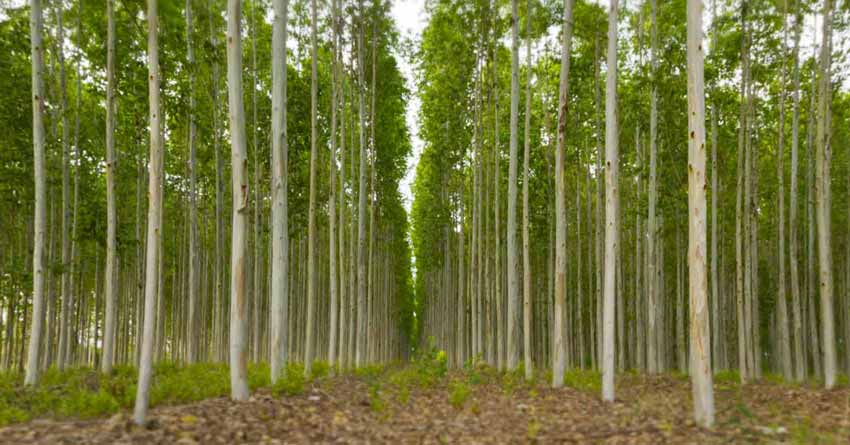Biomassa de eucalipto é opção para gerar energia em MS