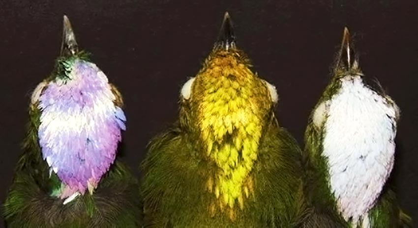 Rara espécie híbrida de pássaros é descoberta