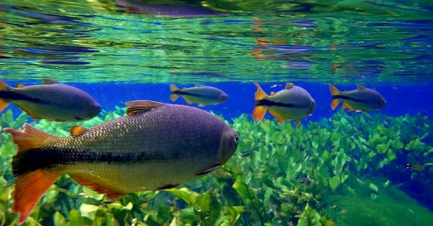 Piracema garante o ciclo de vida dos peixes