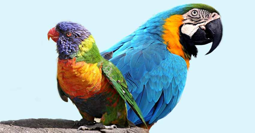 Qual é a diferença entre papagaio e arara?