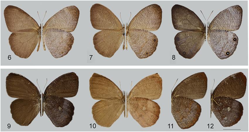 Espécie rara de borboleta é encontrada em SP