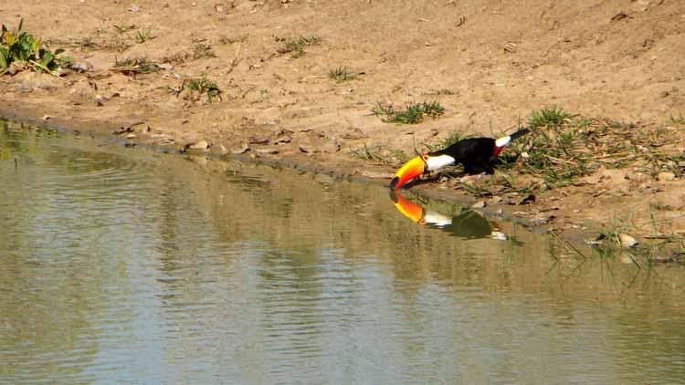 Tucano bebendo água