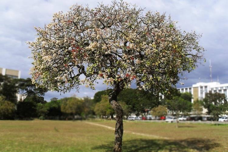 árvore de cagaiteira típico do cerrado