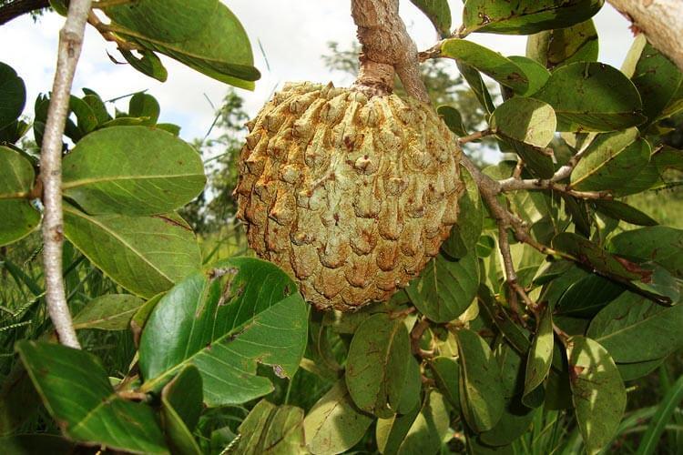 Fruto do Araticum típico do cerrado