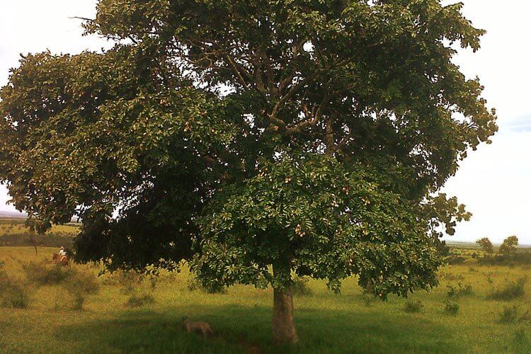 Árvore de Baruzeiro típico do cerrado
