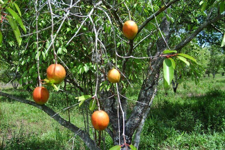 Frutas da Mangabeira típico do cerrado