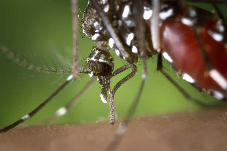 Por que o Aedes aegypti pode transmitir tantas doenças?