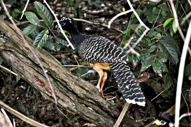 Mutum, ave do Pantanal está no nosso quintal