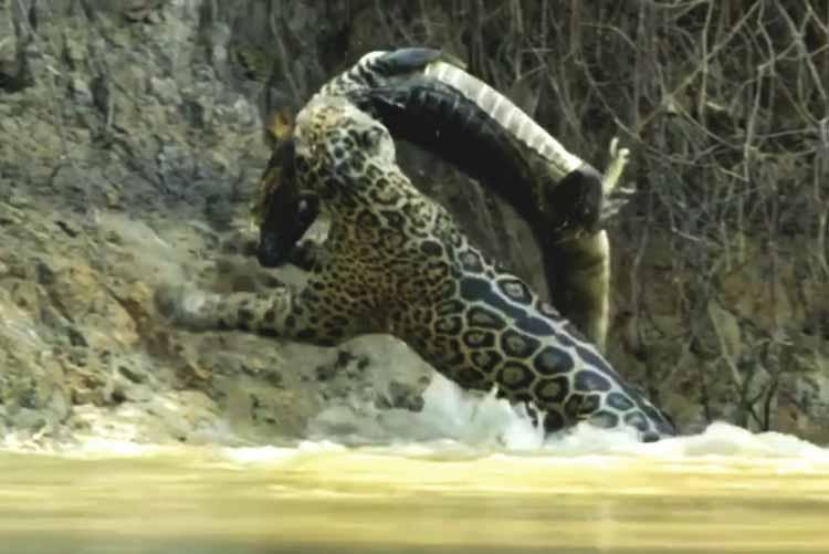 Onça caça Jacaré no pantanal