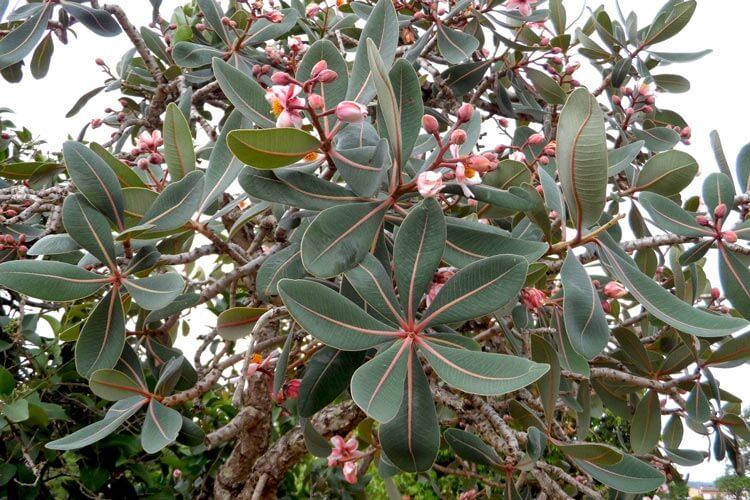 Folhas e flores do Pau Santo típico do cerrado