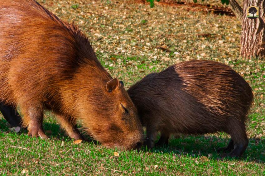 Capivaras comendo grama ao ar livre