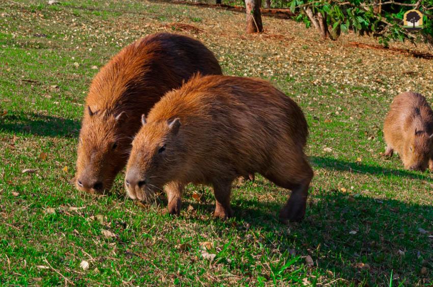 O maior roedor das Américas, capivara comendo grama