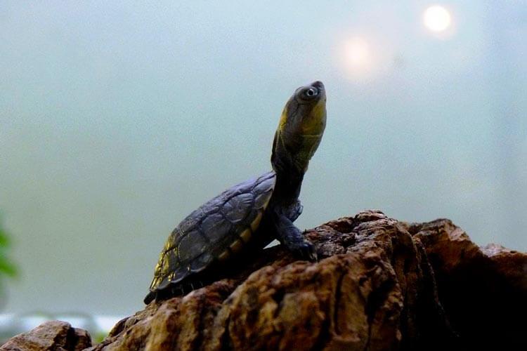 Tartaruga-do-Pantanal ou Tartaruga Cabeçuda