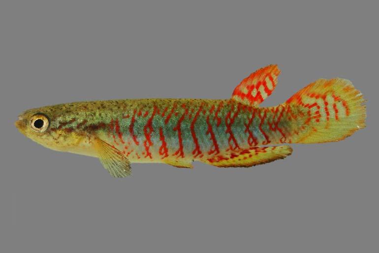 Novas espécies de peixes minúsculos são encontradas em Mato Grosso do Sul