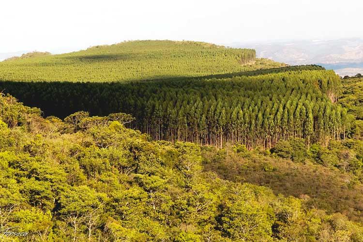 O eucalipto e a importância da água