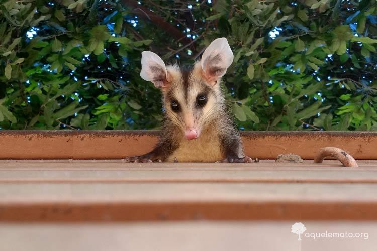 Saruê é um marsupial, o gambá brasileiro