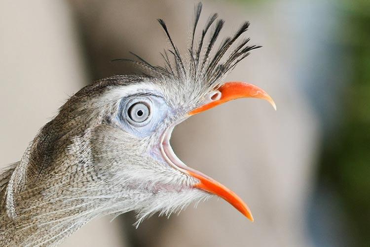 Canto da Siriema, a ave imponente e musical