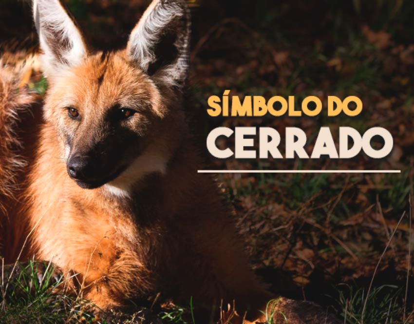 Lobo do cerrado: extinção do lobo-guará