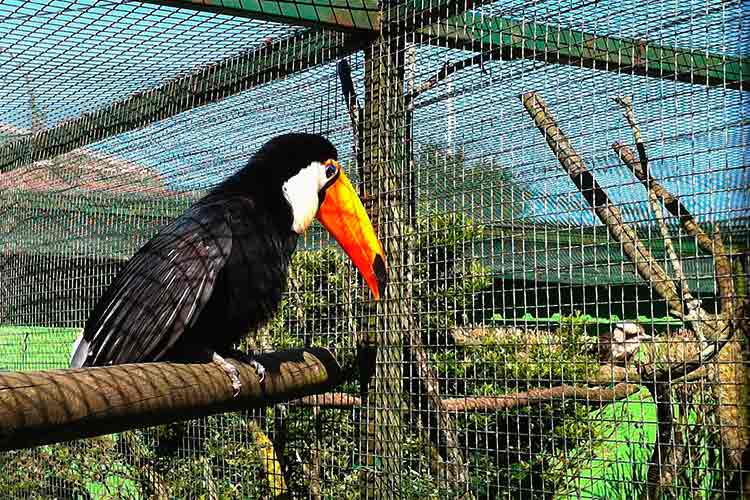 tráfico de animais, Tucano-toco