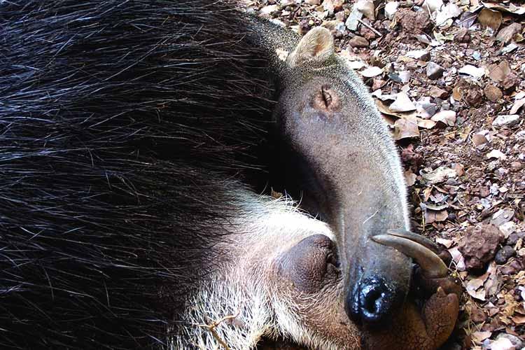 Tamanduá-bandeira: mamífero ameaçado no Pantanal