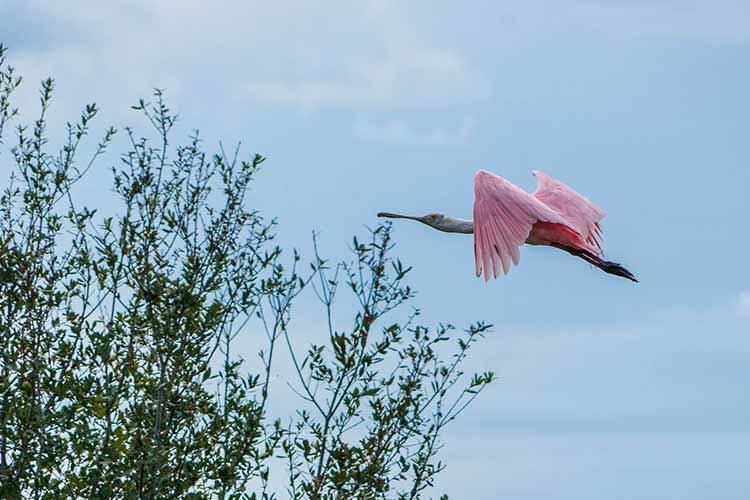 colhereiro voando