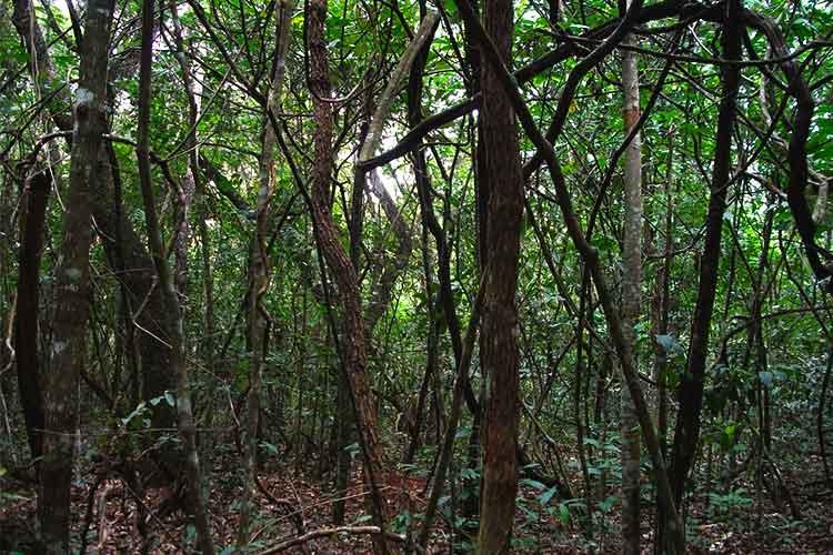 vegetação do Cerrado - cerradão