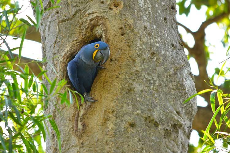 O manduvi e a preservação da arara-azul no Pantanal