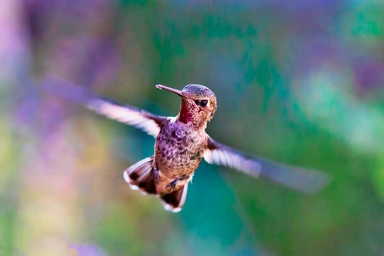 Beija-flor, a ave das Américas