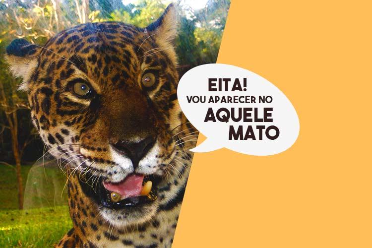 A onça-pintada tem seu refúgio no Pantanal