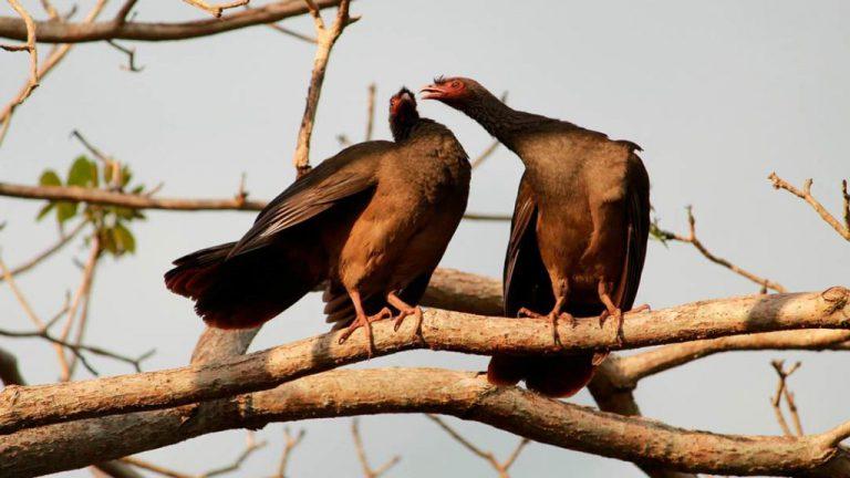 Canto do aracuã domina a paisagem do Pantanal