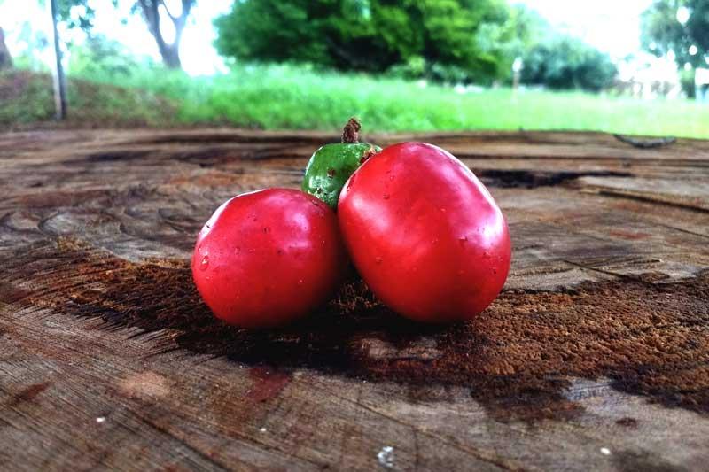 Frutas: a seriguela em Mato Grosso do Sul