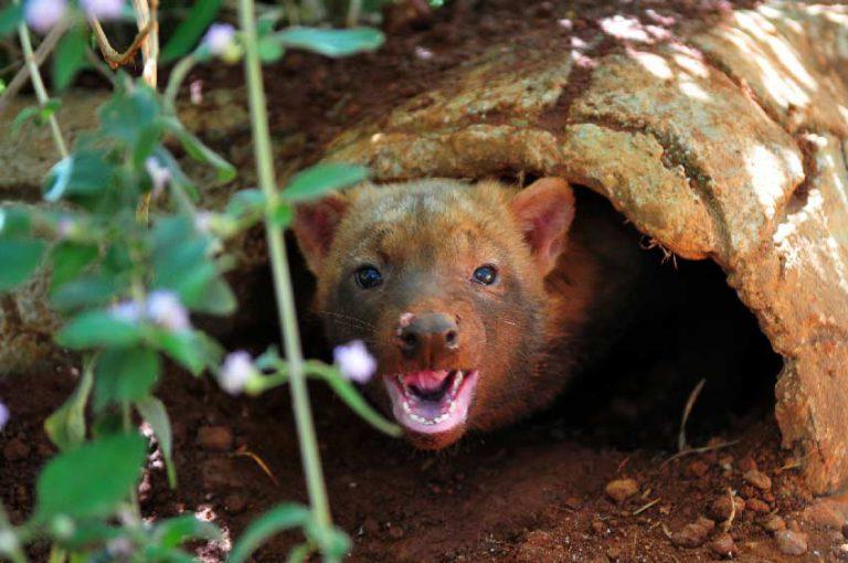 Cachorro-vinagre: o raro cão do mato do Cerrado