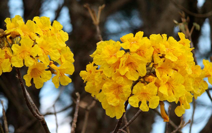 Flor do ipê amarelo, planta alimentícia, em Mato Grosso do Sul