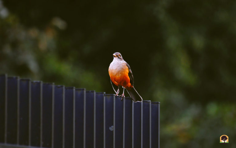 Sabiá-laranjeira – o canto da cidade