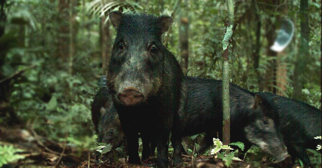 Queixada – o porco selvagem do Pantanal
