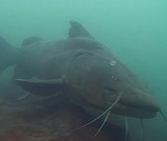 O maior peixe do Pantanal
