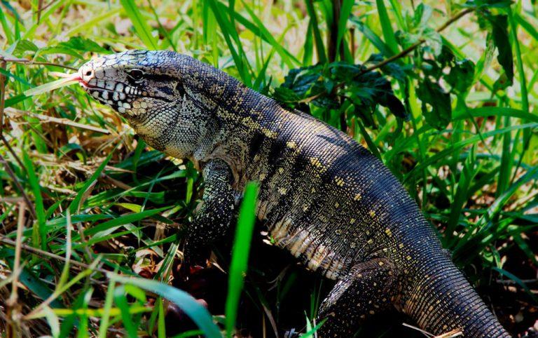 Lagarto teiú do Cerrado, maior lagarto da América do Sul
