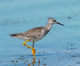 Pantanal - destino para aves migratórias