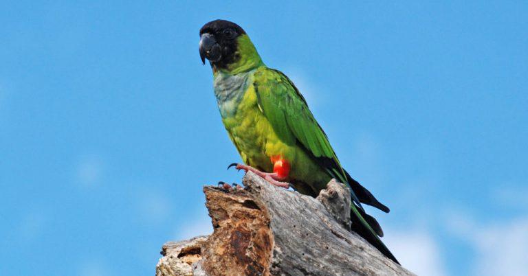 Periquito-de-cabeça-preta, o príncipe do Pantanal