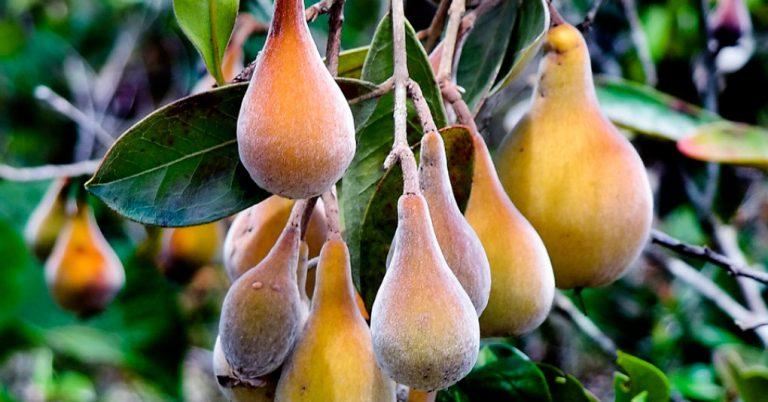 Pera-do-cerrado: Fruta nativa do Cerrado