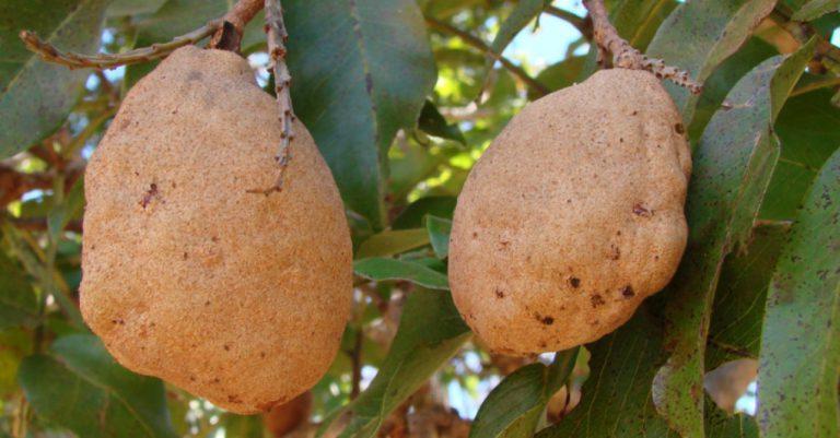 Baru vem de árvore nativa do Cerrado