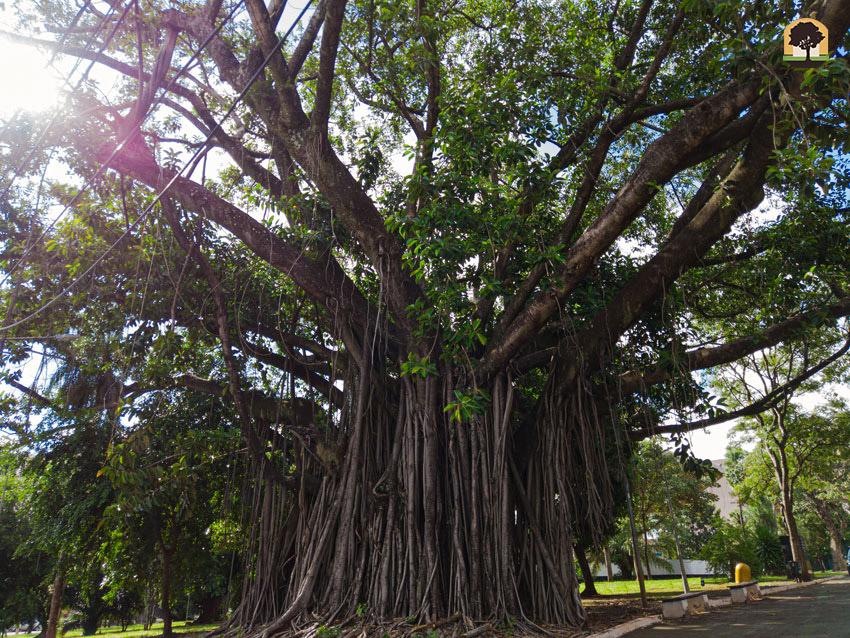 Árvores centenárias - Campo Grande MS