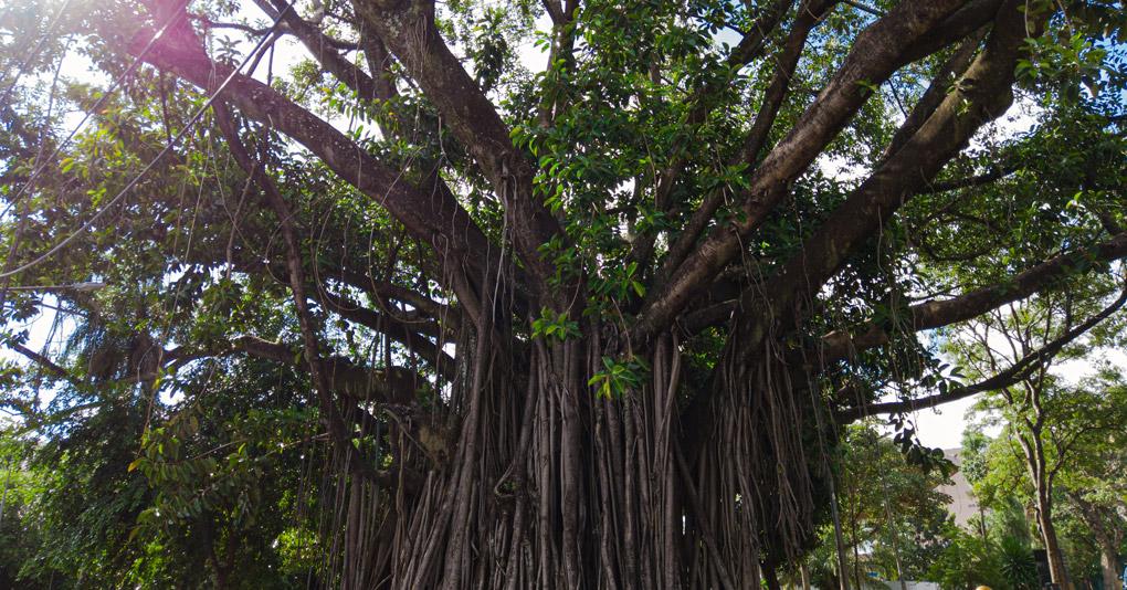 Árvores centenárias de Campo Grande