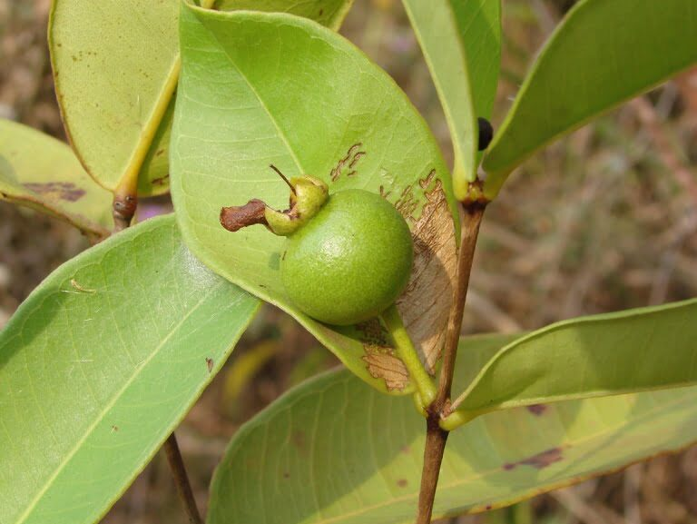Planta Típica do Cerrado