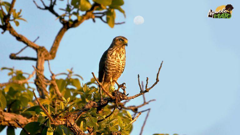 Aves de rapina raras em Mato Grosso do Sul