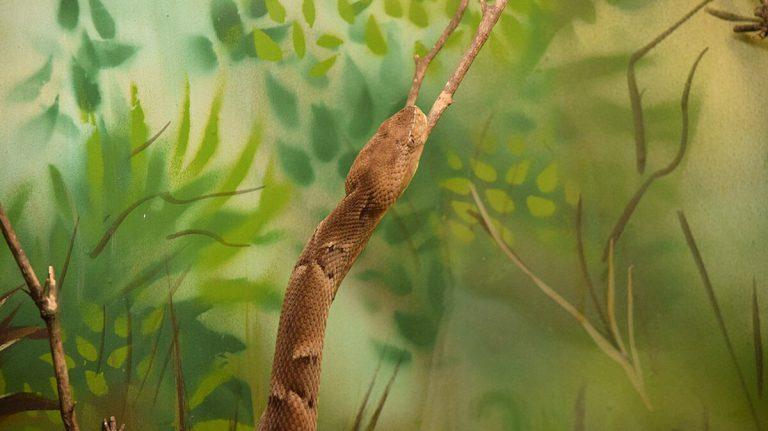 Cobra-caiçara – a rainha do Cerrado